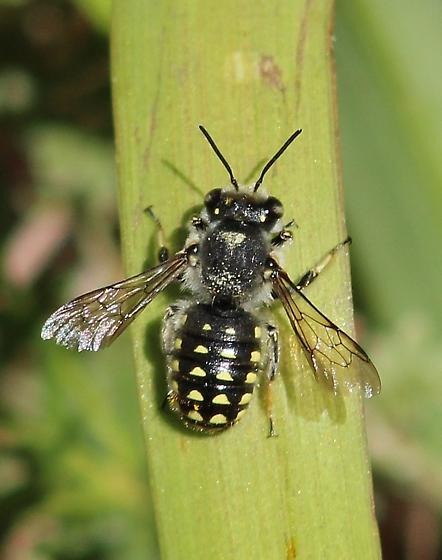 anthidium_adult.jpg