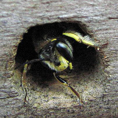 anthidium_nest_anthidium_manicatum.jpg