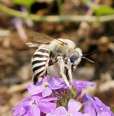 anthophora_adult.jpg