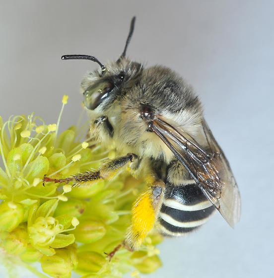 anthophora_pollen_a_californica.jpg