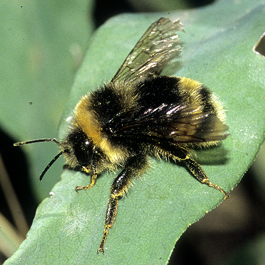 bombus_pollen_bombus_occidentalis.jpg
