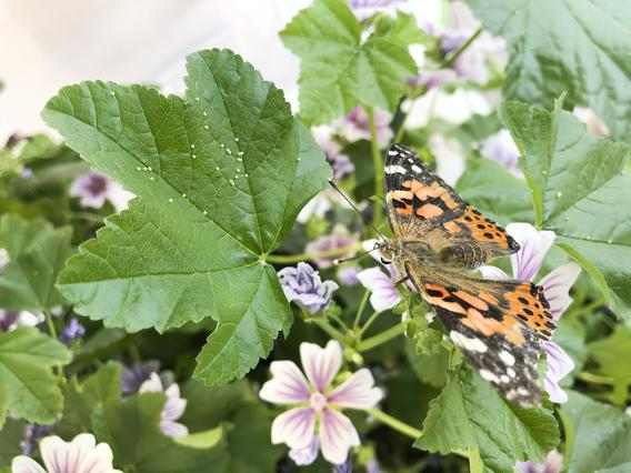 painted lady butterfly on mallow
