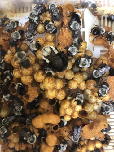 bumble bee colony