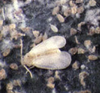citrus whitefly
