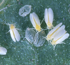 silverleaf whiteflies